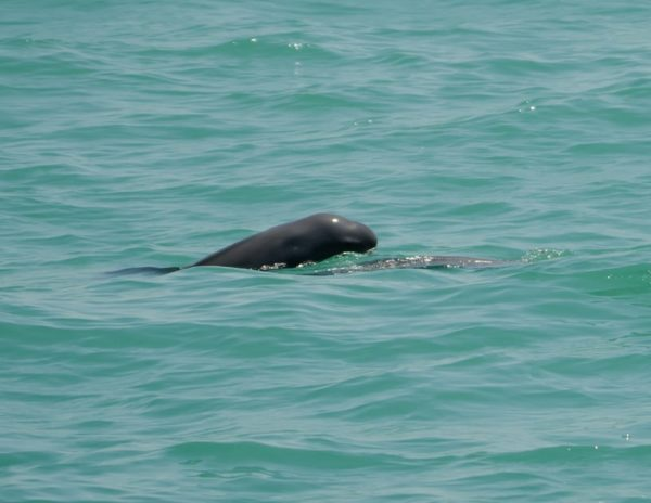 Finless porpoise calf surfaces, Photo by Sulakkhana Suthumma