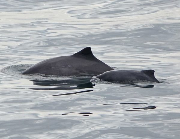 Harbour porpoise mother and calf pair. Photo by Christine Wernicke.